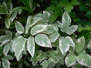 Как используется растение?