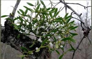 Как выглядит растение?