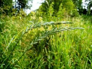 Польза растения и его использование для лечения