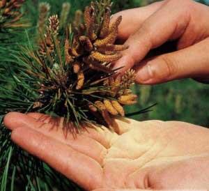 Чем полезна пыльца сосны?