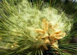 Рецепты с сосновой пыльцой