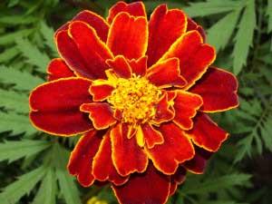 Как выглядит цветок?