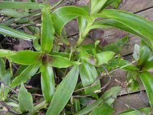 Действительно ли помогает растение лечить болезни?