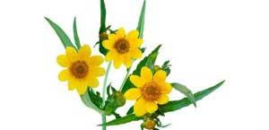 Цветочки череды