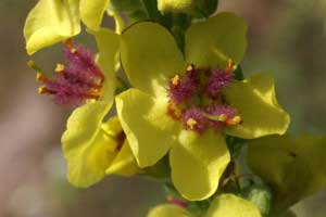 Растение коровняк: лечебные свойства и противопоказания, рецепты
