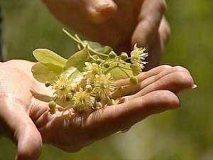 Способы использования растения