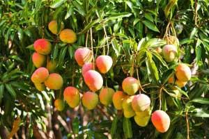 Использование манго при различных болезнях