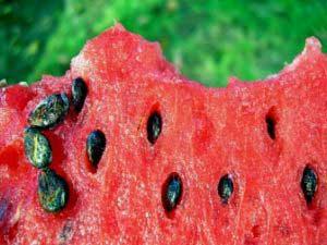 Полезны ли семечки арбуза?