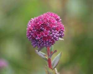Очиток пурпурный