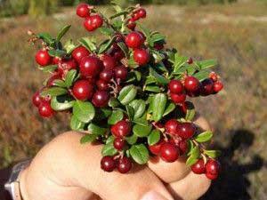 Полезные свойства ягод брусники
